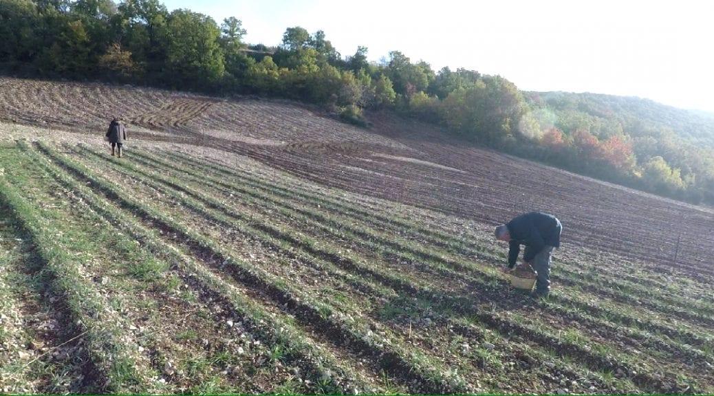 coltivazione dello zafferano di cascia